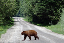 A bear crossing the road.