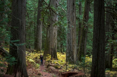 A person walking by a giant tree in the Kokanee Old Growth Forest, an outdoor recreation idea for Nelson BC