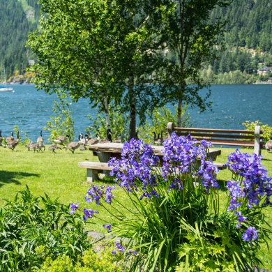 Purple flowers with Canadian Geese and Kootenay Lake in the background at Lakeside Park in Nelson, BC