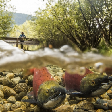 A person standing on a bridge at Kokanee Creek Provincial Park watching Kokanee Salmon spawning near Nelson, BC