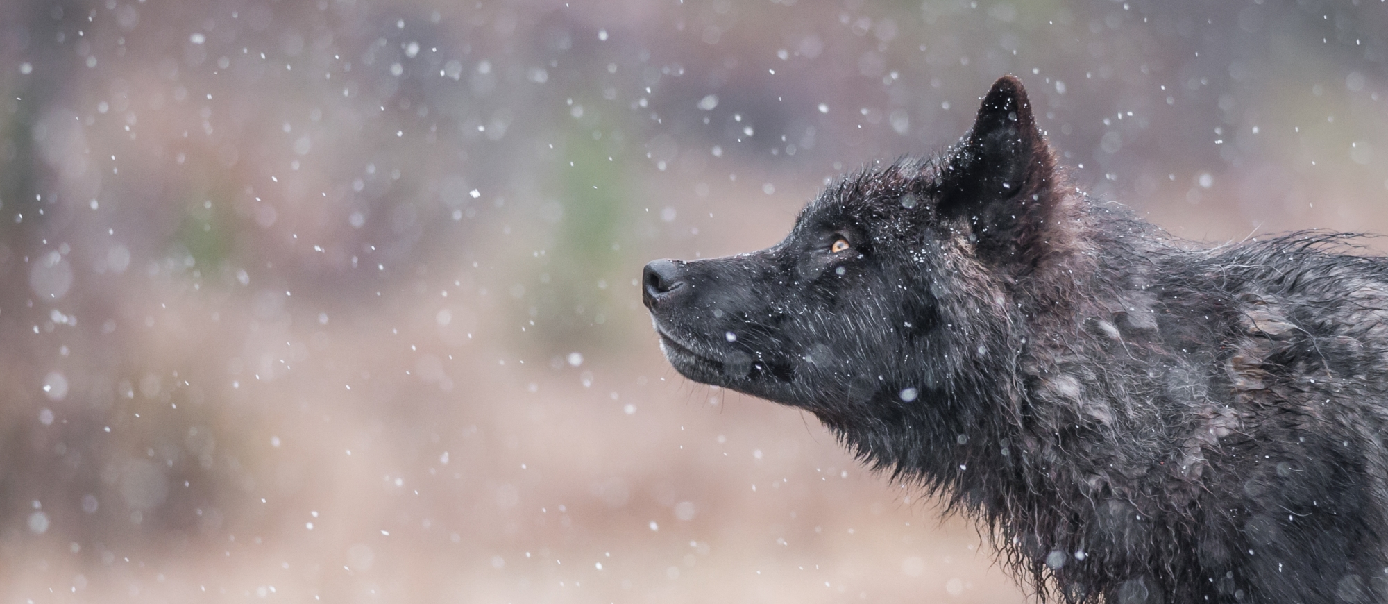 Kootenay wolf | Photo by Jesse Schpakowski