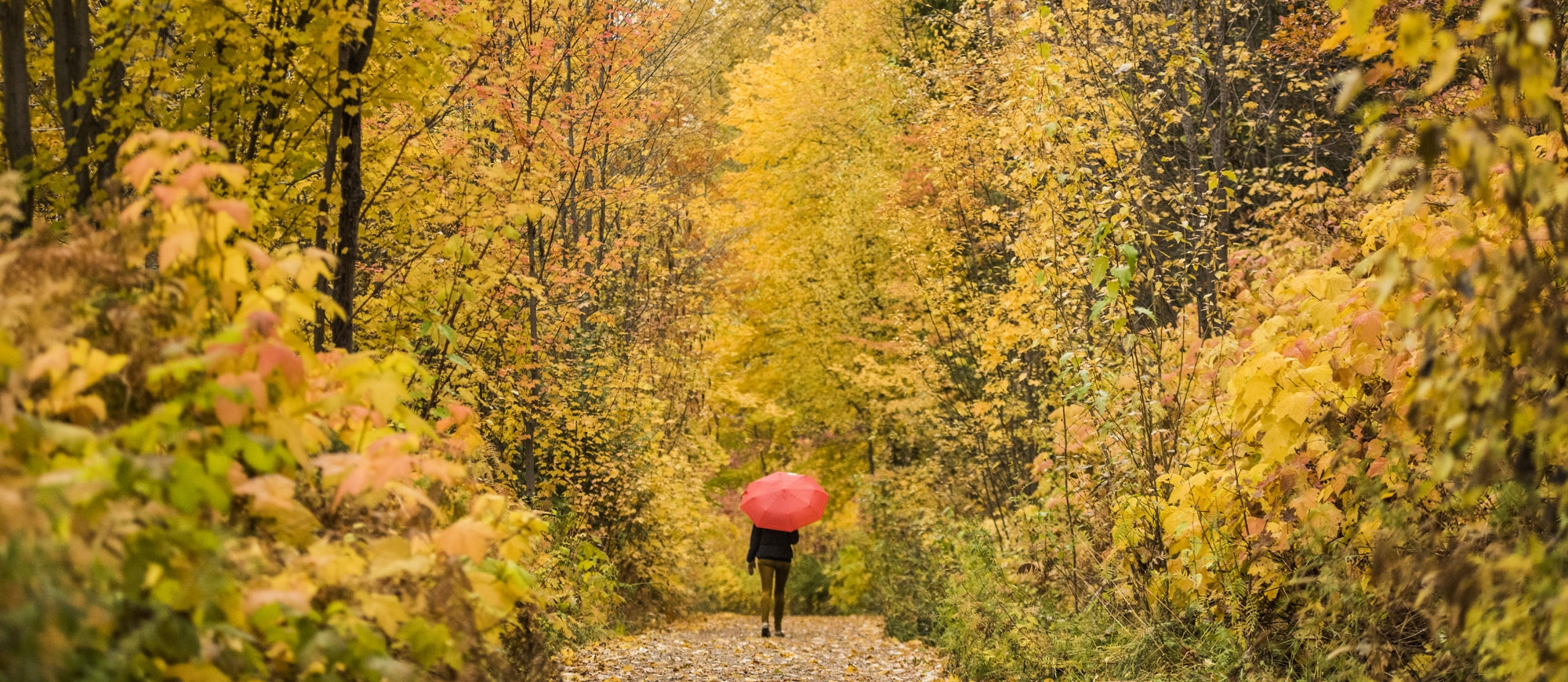 A person walking on the Great Northern Rail Trail with vibrant fall colours all around them