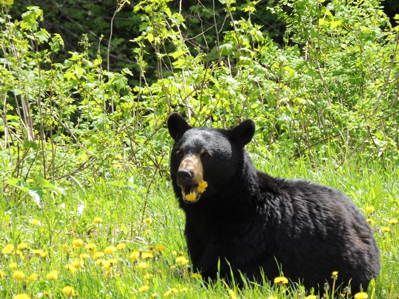 Black Bear in the Kootenay Lake region, Photographer Kathy Macmillan